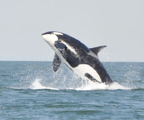 A leaping orca