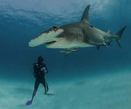 Hammerhead diver_S