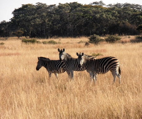 Zebra formulating patterns in a weed st Monate Game Lodge