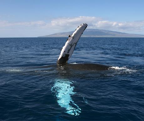 Whale, Maui