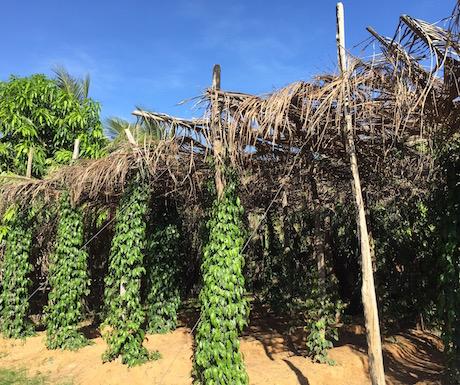 Kampot - peppers vines