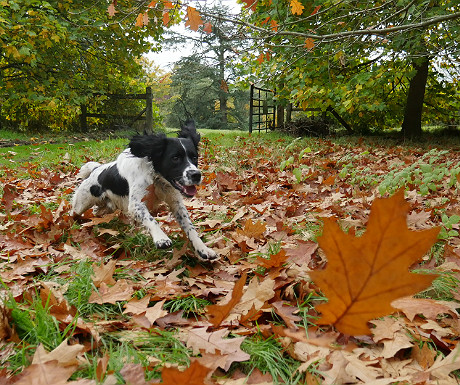 Our dog chasing leaves