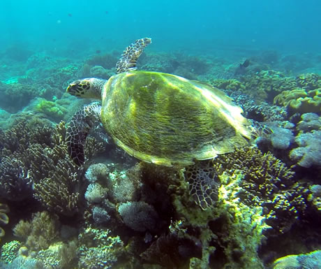 A turtle in a waters off Komodo National Park