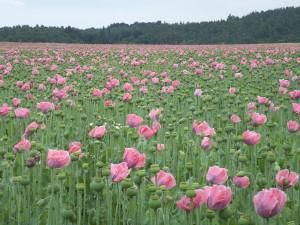 Waldviertel Poppy Fields by Welleschik around Wikimedia (Creative Commons)