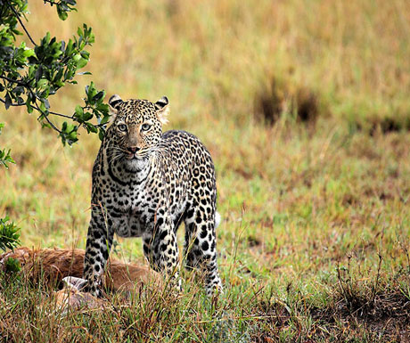 namiri-plains-leopard