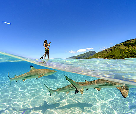 Standup paddling with a wildlife of Moorea, French Polynesia