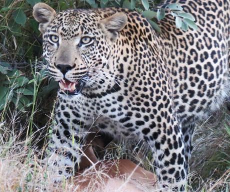 chitwa-chitwa-leopard-kill