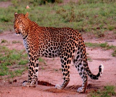Leopard during Sabi Sabi