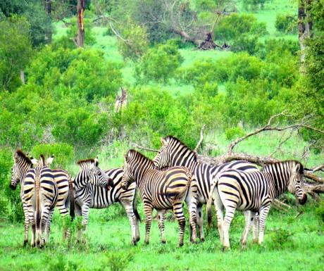 Zebras during Sabi Sabi