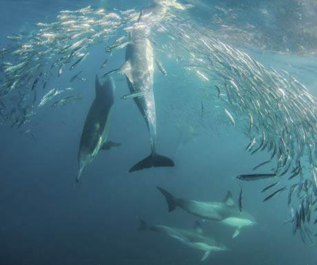 Bottlenose dolphins off a seashore of KwaZulu-Natal
