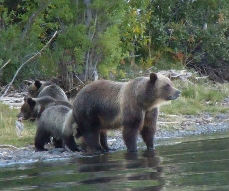 Chilko Experience bear family