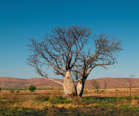Australia Kakadu and a Kimberley debate - boab tree, Kimberley National Park, Australia