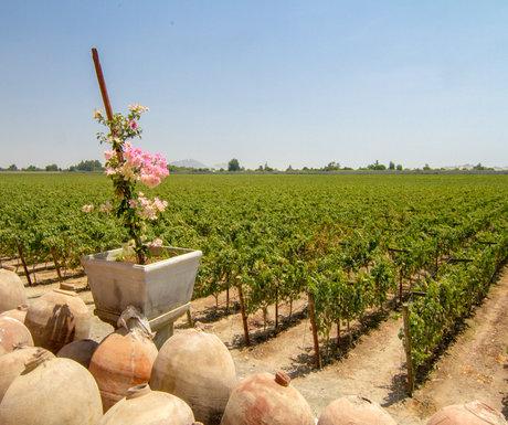 Ica Vineyards