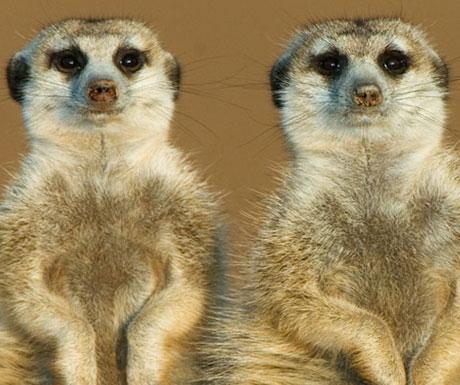 tswalu-kalahari-meerkats