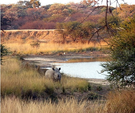 Monate Game Lodge protects a involved rhino