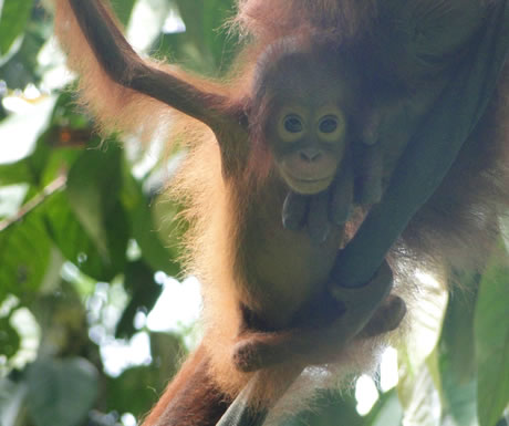 Infant orangutan during Sepilok, Malaysian Borneo