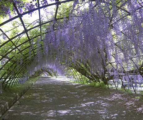 Wisteria hovel during a Kawachi Fuji Garden in Kitakyushu, Japan