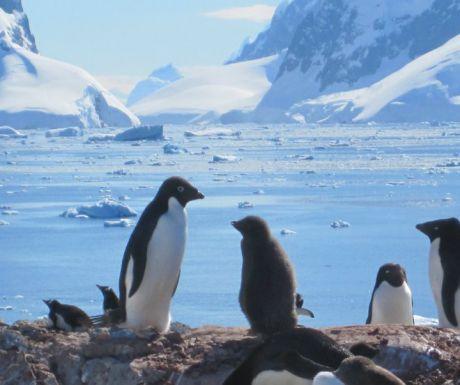 penguina
